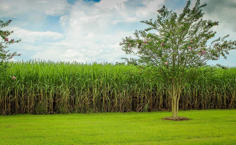 sugarcane-439880_960_720